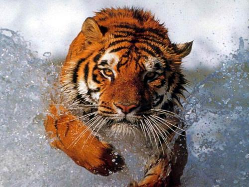 {#/wp-content/uploads/images/bathing_tiger1.jpg}